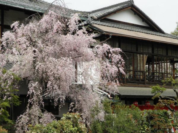 都おどりの会場と桜