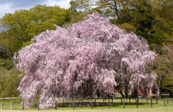 巨大なしだれ桜:斎王桜
